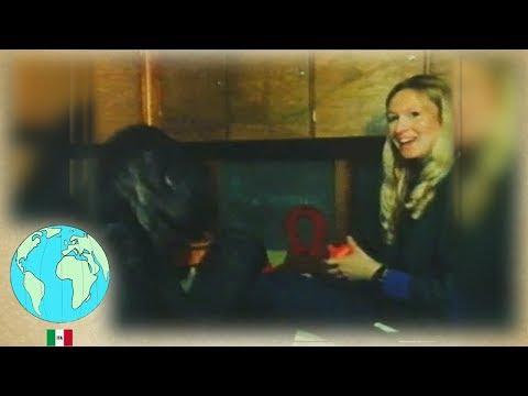 In memoria di Koko la gorilla