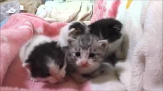 ちょー可愛い赤ちゃん 子猫のよちよち歩き Too cute kittens
