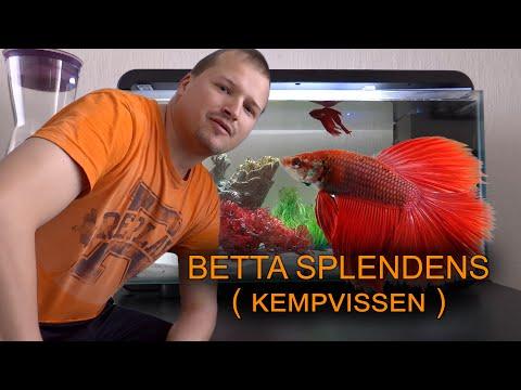Betta splendens vissen, ofwel Siamese kempvis, labyrintvis in aquarium