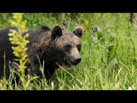 Grandeur Nature - L'Ours des Pyrenées - Documentaire Animalier
