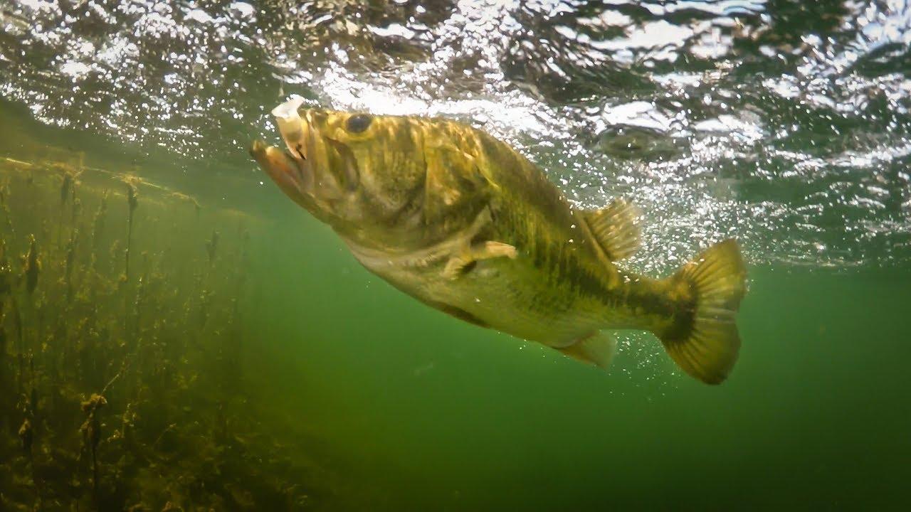 Insane underwater footage bass eating jerkbaits for Bass fishing jerkbaits