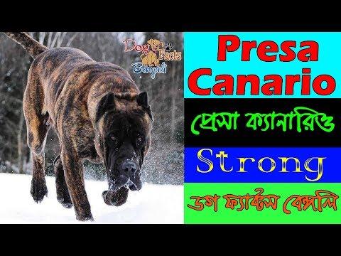 Presa Canario dog facts in bengali | Giant dog breed | Dog Facts Bengali