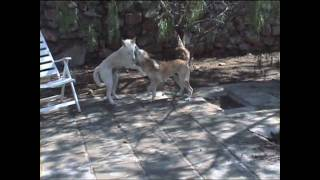 Wild born Canaan dog Matey tries to steal a bone from Digger his brother
