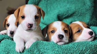 Funny Jack Russell Terrier Puppies 5 weeks