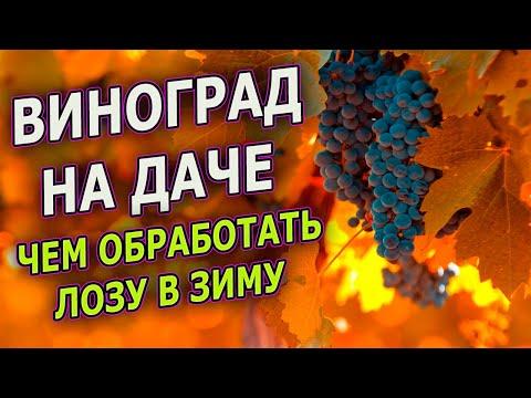Чем лучше обработать ВИНОГРАД перед зимним укрытием. Осенняя обработка винограда перед укрытием.