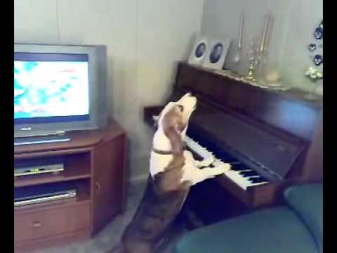 Singing Dog Plays Piano