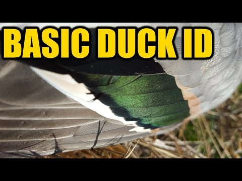 How To Identify Ducks   Hunting Boot Camp