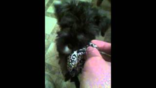 Two Minutes With Tucker (miniature Schnauzer).
