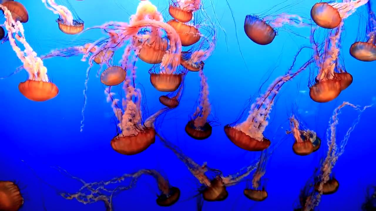 pictures at an exhibition dance of jellyfish youtube