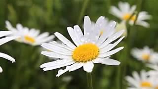 日本の童謡「野菊」