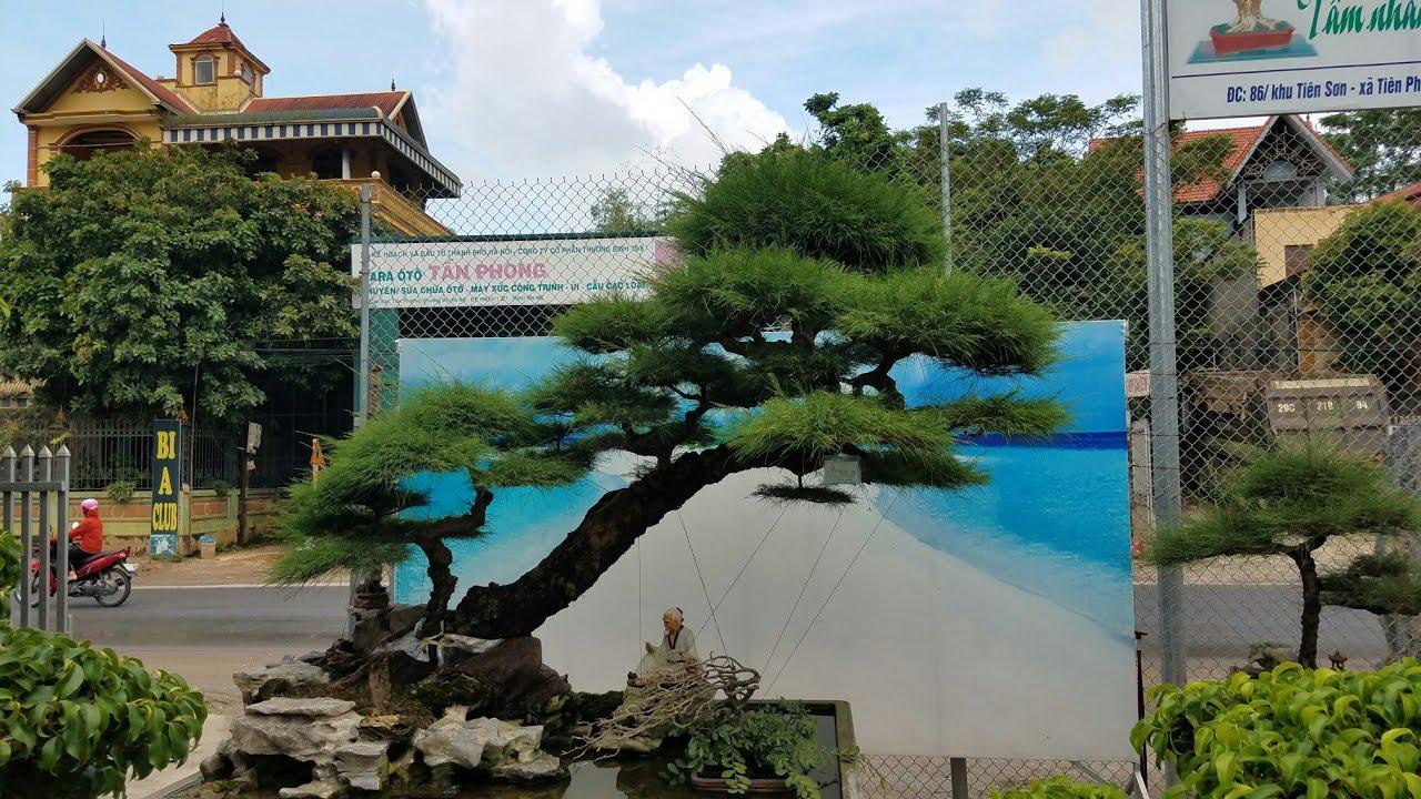 SH.420.Cây Phi Lao dáng siêu tuyệt đẹp chỉ có tại vườn cảnh Minh Dưỡng.Chương Mỹ. Hà Nội .