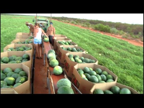 World's Largest Watermelon Farm. - Tons Of Watermelon Growing Like This.