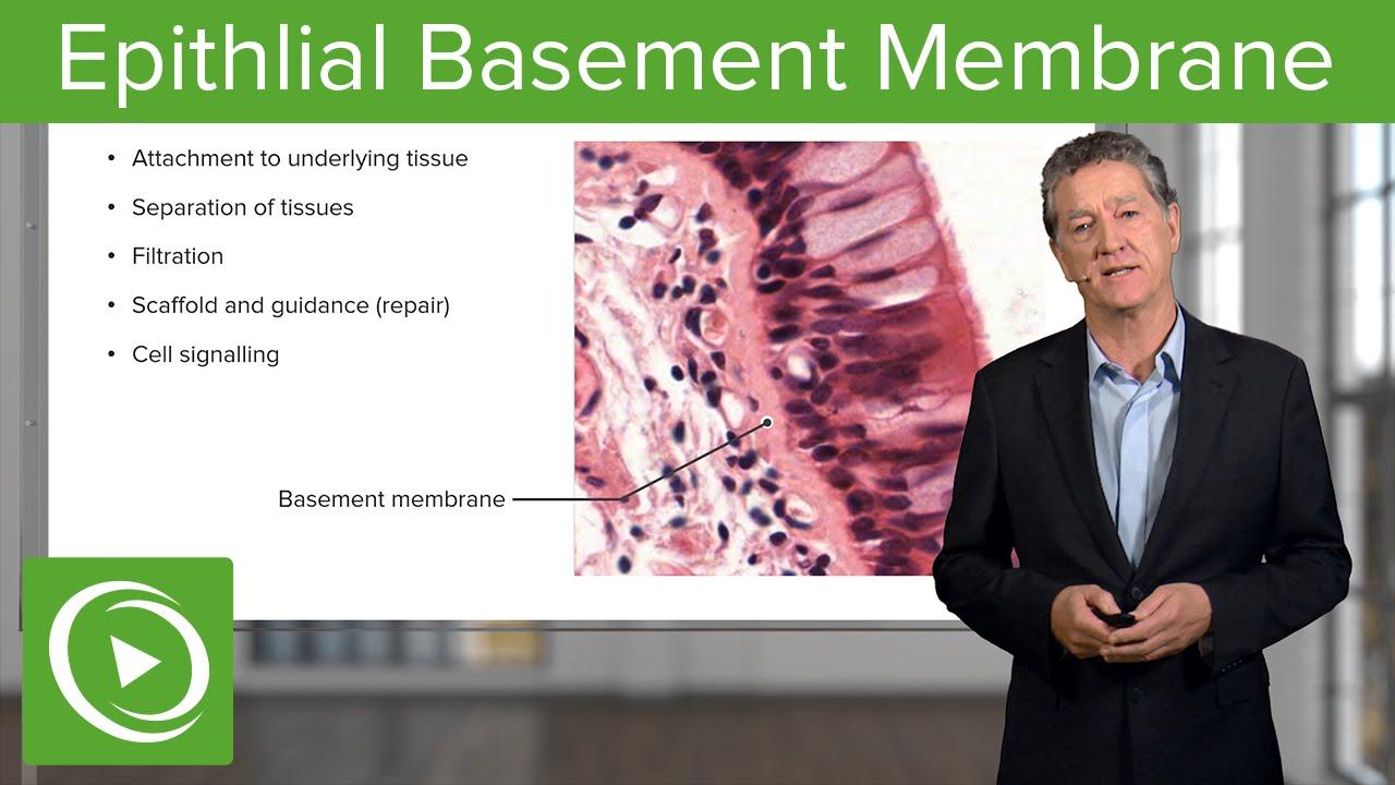 Epithlial Basement Membrane  – Histology | Lecturio