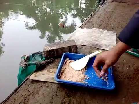 Mancing Ikan Mas Umpan Merah Merajalela PART 1