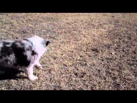 AKC Australian Shepherd Puppies 2/22/2011