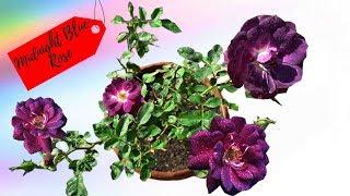 अद्भुत मखमली गुलाब ! Midnight Blue Rose Mysterious Fragrant Flower  TERRACE GARDEN