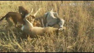 Тазы Охота на Косулю (Охота с собаками) / Hunting