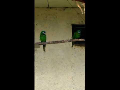 Малый синелобый ара или карликовый ара (лат. Ara nobilis)