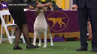 English Foxhounds | Breed Judging 2020
