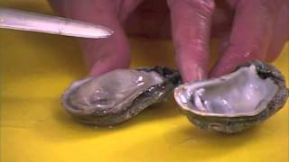How to clean Oysters by Captain Vincent Russo
