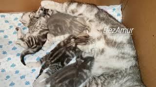 Котята шотландской породы (17 дней)