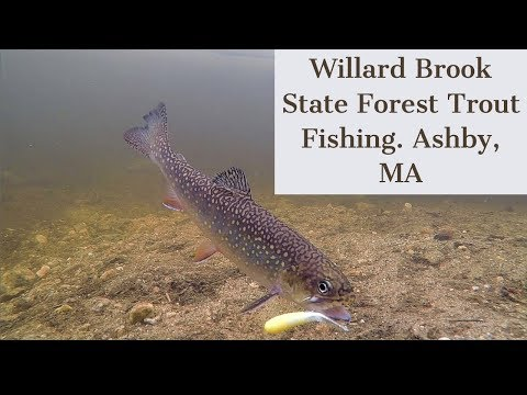 Caught 30+ Trout!! Willard Brook State Forest Trout Fishing. Ashby, MA