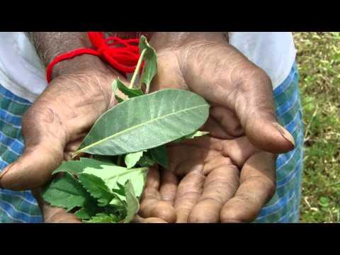 Pankaj Oudhia's Healing Herbs: Diabetes mellitus Type 2 with Ascites. HF-150
