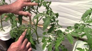 Dutch Bucket Tomatoes - Pruning, Stringing, and Pollinating
