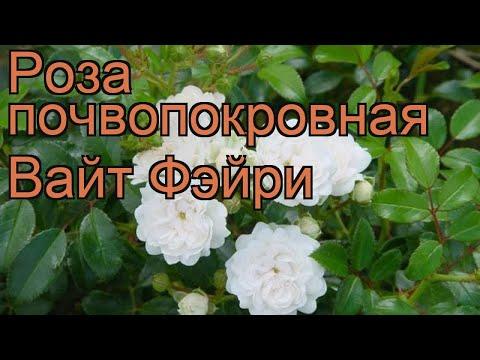 Роза почвопокровная Вайт Фэйри (rose white fairy) 🌿 обзор: как сажать, саженцы розы Вайт Фэйри