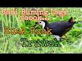 Cari Burung Truwok Pikat Ruak Ruak Cuma Pakai Suara Hp Abank Faiz  Mp3 - Mp4 Download