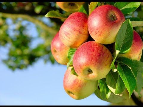 Яблоня Чемпион- описание сорта #  Особенности яблони Чемпион