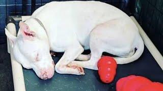 Семья запирала глухого питбуля в тесной комнате… А однажды собаку просто решили сдать в приют!