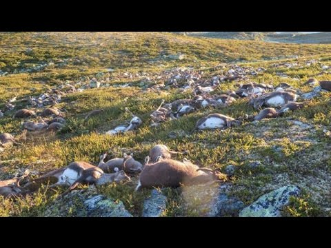 Freak lighting bolts kill 300 reindeer in Norway