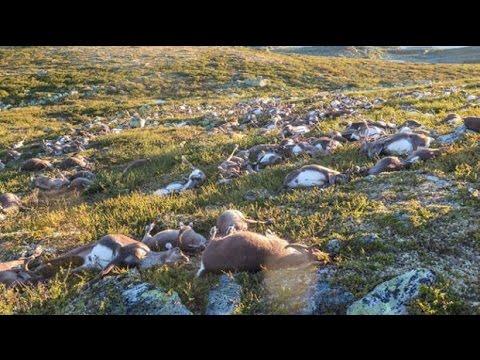 Freak lighting bolts kill 300 reindeer in Norway
