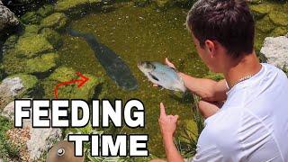 feeding-my-10lb-bass-a-monster-gizzard-shad