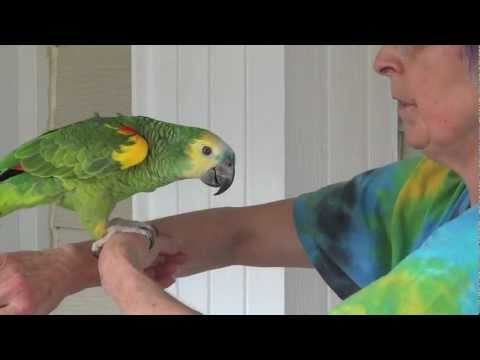 Jubilee The Blue Fronted Amazon Youtube