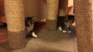 Котята Мейн Кун 4 недели