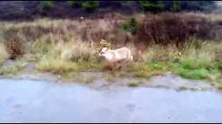 Полярная лиса (Харьягинское нефтяное месторождение, 29.09.2014)