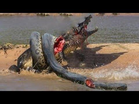 Kangaroo Island Giant Snake