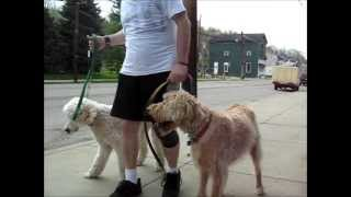 Southwest Florida Dog Training - 2 Dogs Obedience  To Walk Together  Busy Street - 1st Time