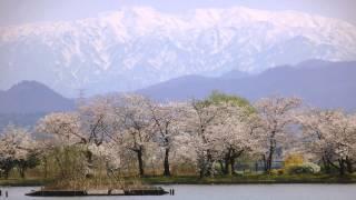 蒲原平野の真ん中にある瓢湖の桜です。東に望む秀麗の 五頭山高し三千の...