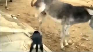 Месть Осла! Смешное видео с животными 2013 новинка