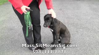 Massachusetts Dog Obedience Training Board And Train Diamond