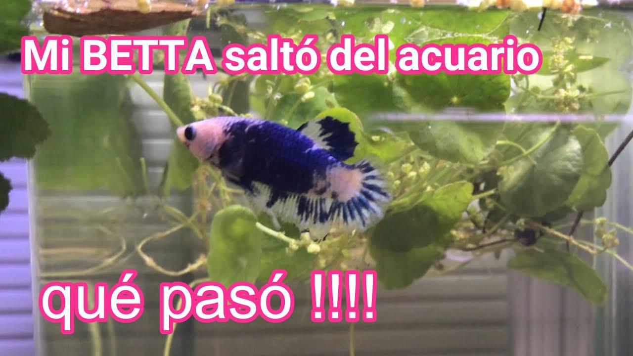 ❤️Mi Betta saltó del acuario / evita que tus peces salten del acuario