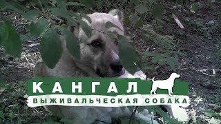 """КАНГАЛ - обзор на самую """"выживальческую"""" собаку)))"""
