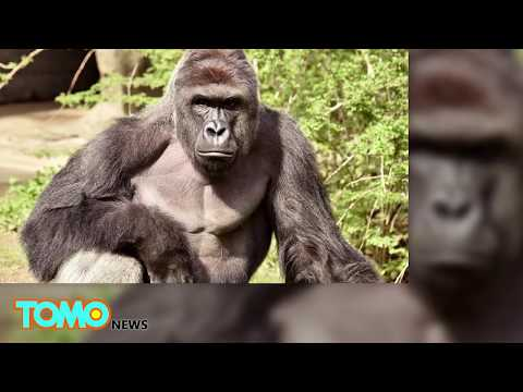Gorilla killed: Gorillas have a history of protecting kids who fall into zoo enclosures - TomoNews