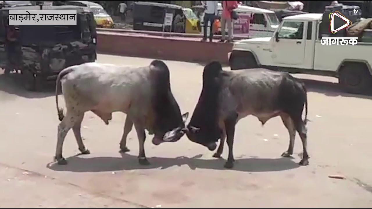 बाड़मेर : शहर भर में आवारा पशुओं का आतंक, आमजन परेशान