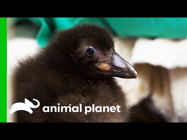 Puffling Learns To Swim | The Zoo