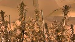 7 Gallon Pot's 7ft Tree's 20+ lbs