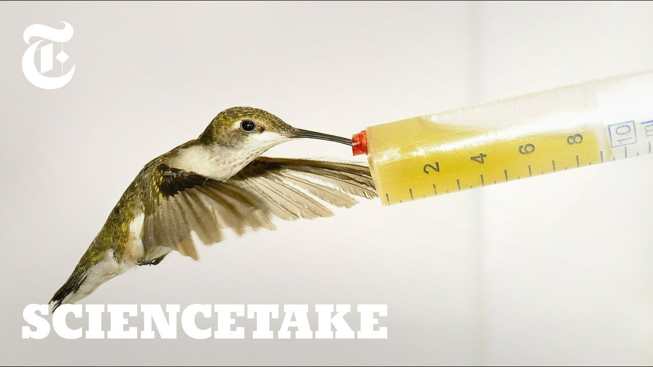 How Hummingbirds Cheat Death Sciencetake Youtube